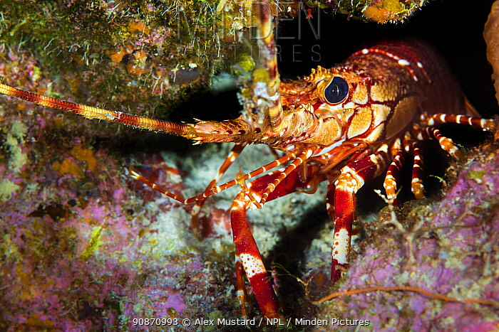 Red banded lobster (Justitia longimanus) sheltering in a crevice in a coral reef. East End, Grand Cayman, Cayman Islands, British West Indies. Caribbean Sea.