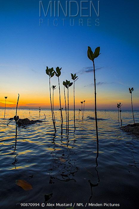 Young mangrove trees, Red mangrove tree (Rhizophora mangle) growing in shallow water at sunset. Ra Province, Viti Levu, Fiji, Polynesia. Bligh Waters, Vatu-i-Ra Passage, Tropical South Pacific Ocean.