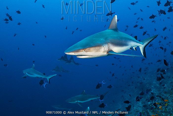 Grey reef sharks (Carcharhinus amblyrhynchos) patrols a reef dropoff, with triggerfish and spotted eagle rays. Rasdhoo Atoll, Maldives. Indian Ocean.