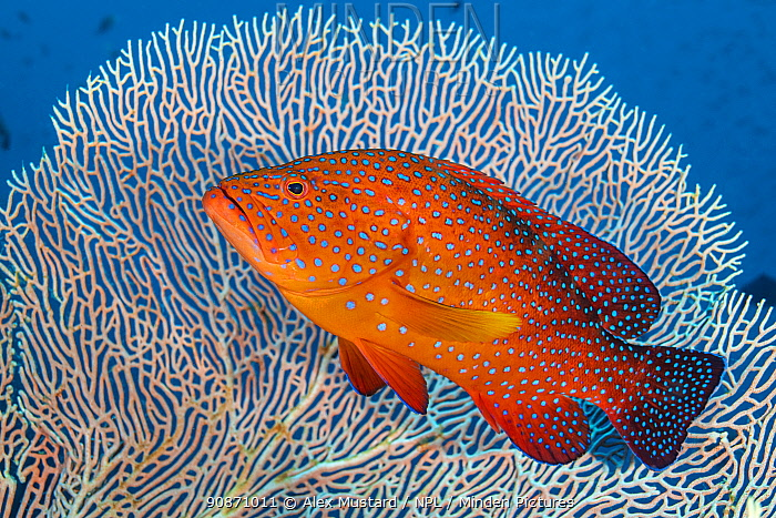 RF - Portrait of a coral grouper (Cephalopholis miniata) next to a sea fan (Annella sp.) on a coral reef. Raja Ampat, West Papua, Indonesia. Ceram Sea. (This image may be licensed either as rights managed or royalty free.)
