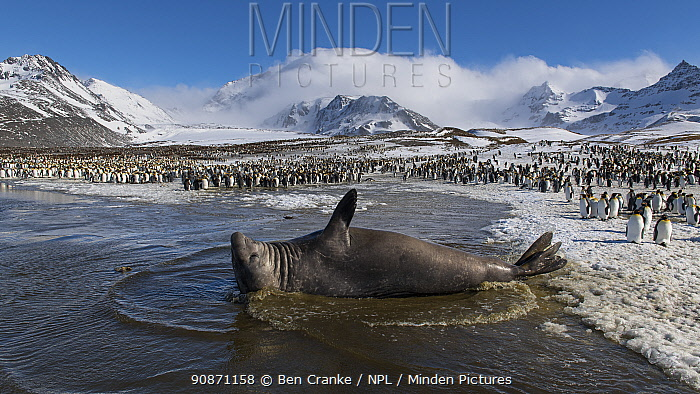 Southern elephant seal (Mirounga leonina) male rests in a shallow lagoon. St Andrew's Bay, South Georgia Island