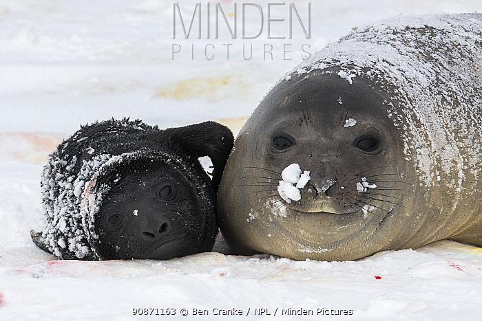 Southern elephant seal (Mirounga leonina) and her newborn pup, bonding with calling and nuzzling. Salisbury plain, South Georgia Island