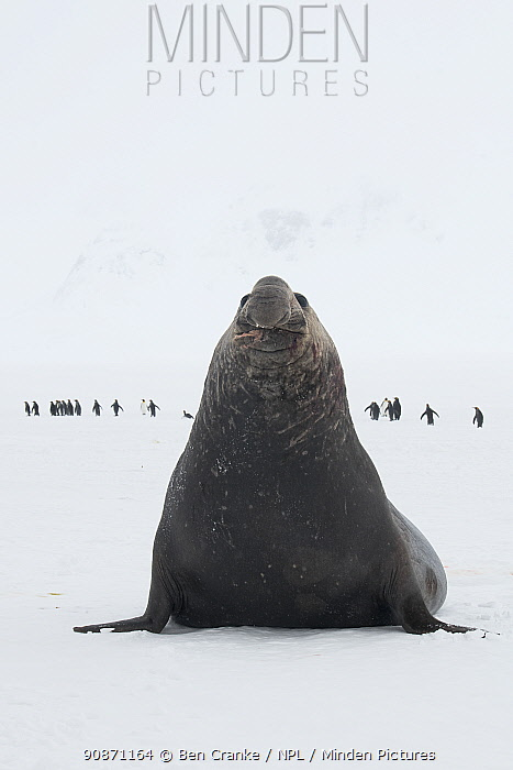 Southern elephant seal (Mirounga leonina) male, hobbles across the snow with King penguins (Aptenodytes patagonicus) in the background. Salisbury plain, South Georgia Island