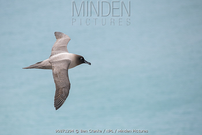 Light-mantled sooty albatross (Phoebetria palpebrata) flying over Elsehul Bay, South Georgia Island.