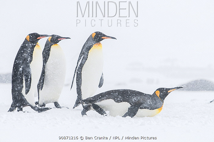 King penguins (Aptenodytes patagonicus) commute to their breeding ccolony during a snow storm. St Andrew's Bay, South Georgia Island