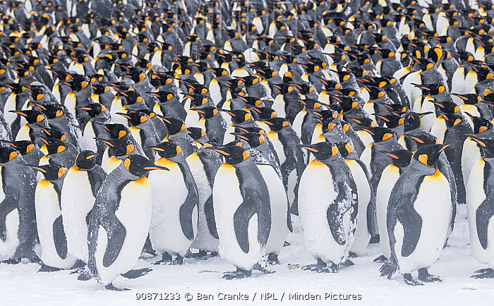 King penguins (Aptenodytes patagonicus) gather in a tight grouping, seeking shelter from each other during a blizzard. St Andrew's Bay, South Georgia Island