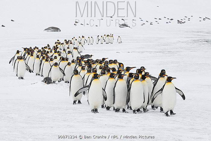 A winding column of King penguins (Aptenodytes patagonicus) commute to the breeding colony. St Andrew's Bay, South Georgia Island