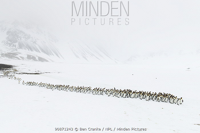 King penguins (Aptenodytes patagonicus) walking from their breeding colony to Right Whale Bay, South Georgia Island