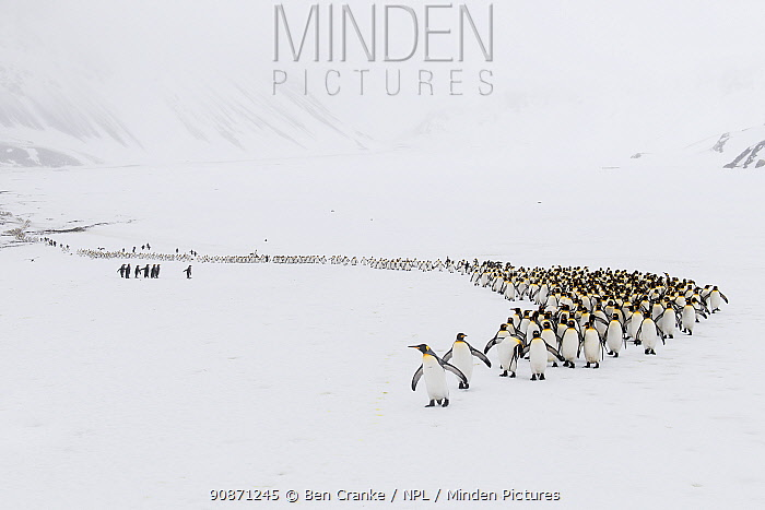 King penguins (Aptenodytes patagonicus) walking from their breeding colony toRight Whale Bay, South Georgia Island
