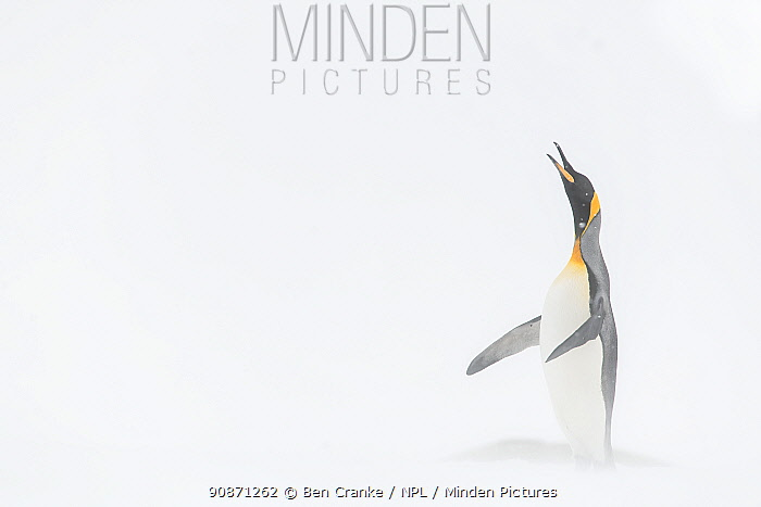 King penguin (Aptenodytes patagonicus) stretching after resting. St Andrew's Bay, South Georgia Island