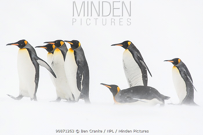 King penguins (Aptenodytes patagonicus) walking and taboggan across a snow field. St Andrew's Bay, South Georgia Island