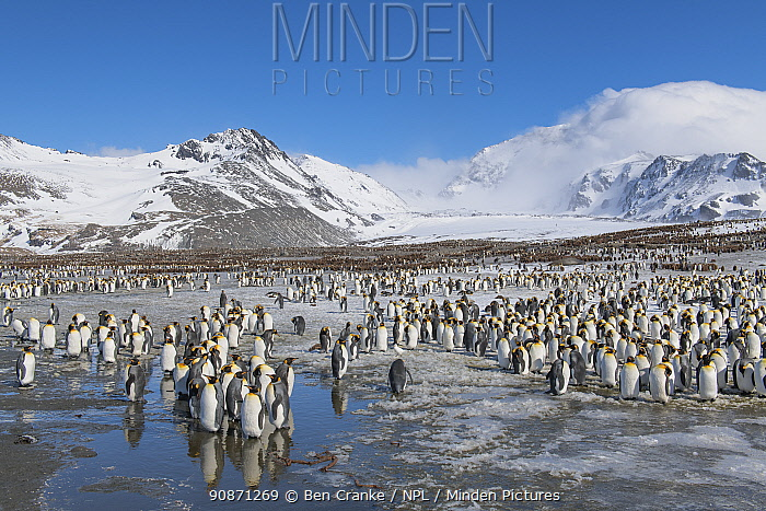 King penguins (Aptenodytes patagonicus) gather and rest close to the breeding colony. St Andrew's Bay, South Georgia Island
