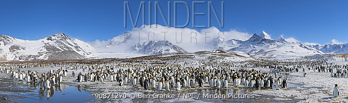 King penguins (Aptenodytes patagonicus) gathered and resting close to the breeding colony. St Andrew's Bay, South Georgia Island