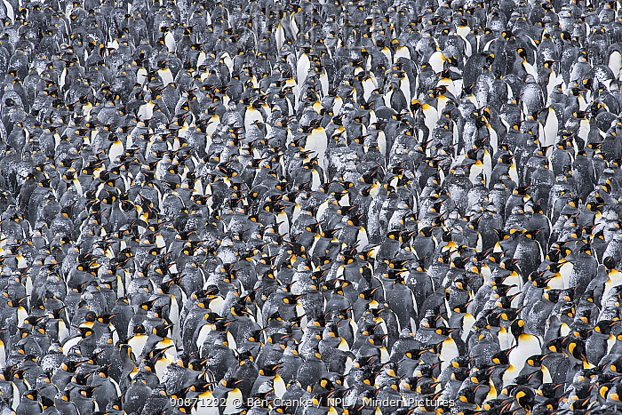King penguins (Aptenodytes patagonicus) gather in a tight group, seeking shelter from each other during a blizzard. St Andrew's Bay, South Georgia Island