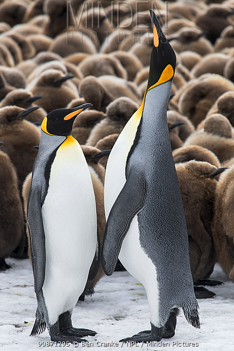 King penguins (Aptenodytes patagonicus) courtship display in front of a creche of chicks. Right Whale Bay, South Georgia Island