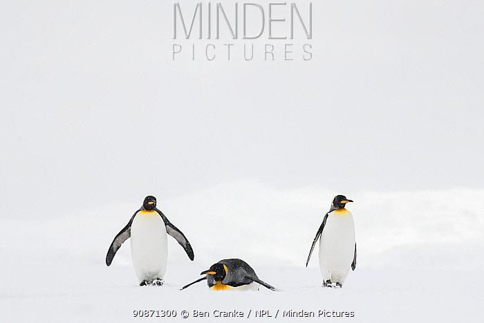 King penguins (Aptenodytes patagonicus) walking and tobogganing. Salisbury plain, South Georgia Island