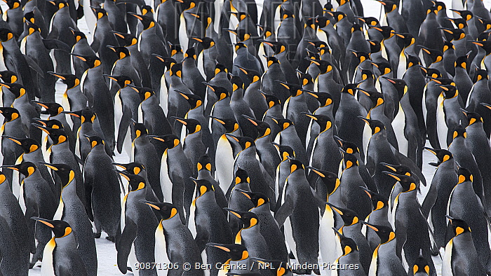 King penguins (Aptenodytes patagonicus) gather in a tight group. Right Whale Bay, South Georgia Island