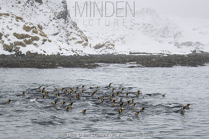 King penguins (Aptenodytes patagonicus) gather in a tight group, as they swim in a shallow bay. Right Whale Bay, South Georgia Island