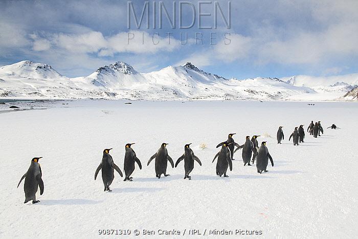 King penguins (Aptenodytes patagonicus) walking to the breeding colony. Fortuna Bay, South Georgia Island