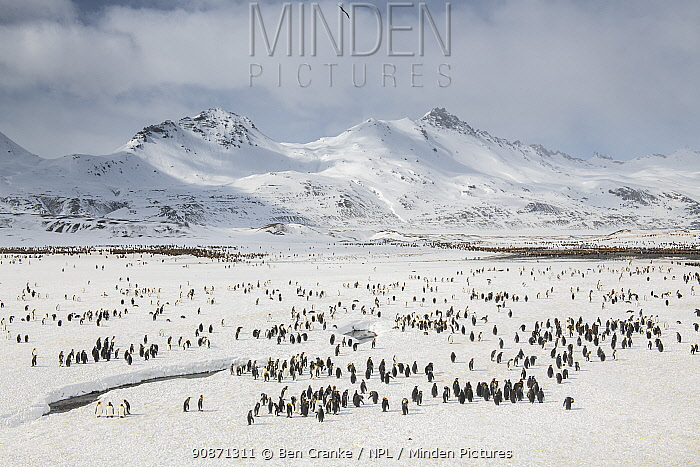 King penguins (Aptenodytes patagonicus) gather in large numbers at the breeding colony, Fortuna Bay, South Georgia Island