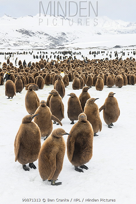King penguin (Aptenodytes patagonicus) chicks gathered in a creche, Fortuna Bay, South Georgia Island