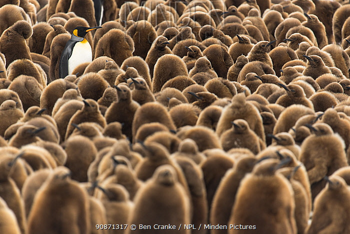 An adult King penguin (Aptenodytes patagonicus) amongst a creche of chicks at the breeding colony. Fortuna Bay, South Georgia Island