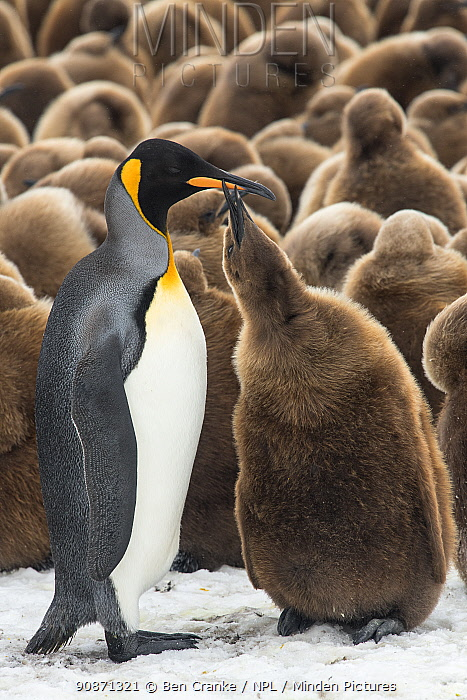 An adult King penguin (Aptenodytes patagonicus) feeding its chick in front of a creche of chicks. Fortuna Bay, South Georgia Island