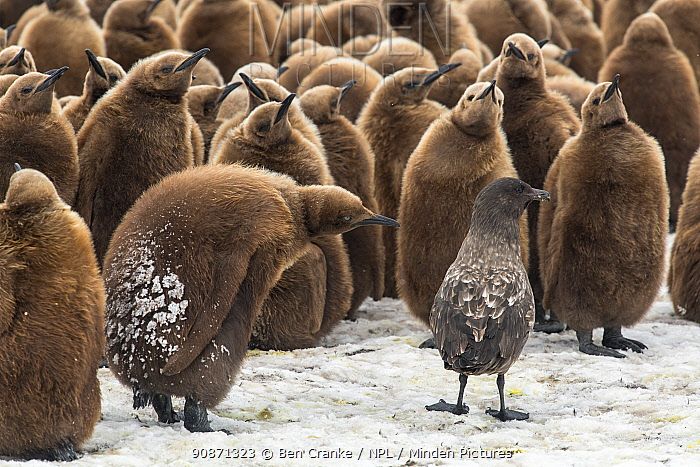 King penguin (Aptenodytes patagonicus) chicks gather to defend themselves against a nearby Brown skua (Stercorarius antarcticus). Fortuna Bay, South Georgia Island