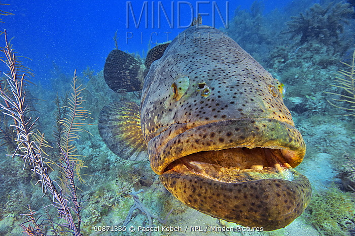 Close up of an Atlantic goliath grouper or Giant seabass (Epinephelus itajara) with a diver in the background. These fish are friendly and come into contact with divers, The Gardens of the Queen, Cuba, Caribbean Sea.