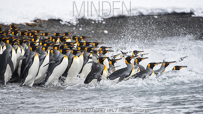 King penguins (Aptenodytes patagonicus) gather in a tight group, as they go to sea. Right Whale Bay, South Georgia Island