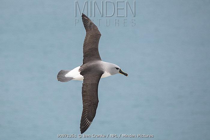 Grey-headed albatross (Thalassarche chrysostoma) flying over Elsehul Bay, South Georgia Island