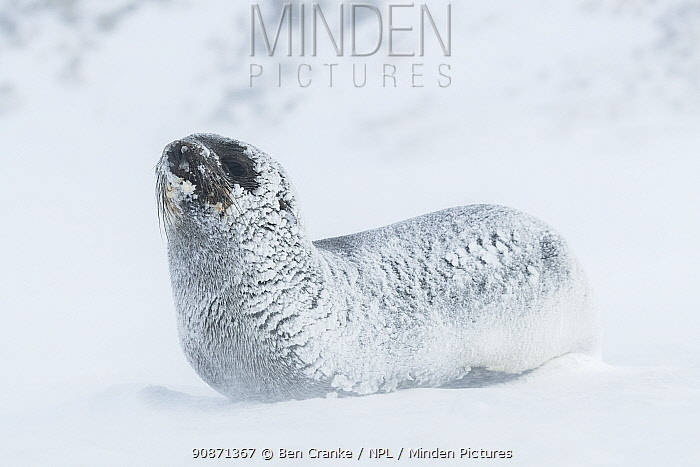 Snow and ice covered Antarctic fur seal (Arctocephalus gazella) rests as winds blow spindrift across the ground. St Andrew's Bay, South Georgia Island