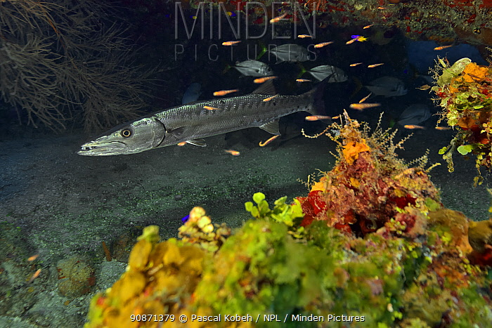 Great barracuda (Sphyraena barracuda) on the reef with Jackfish (Caranx latus) and surrounded by Masked gobies (Coryphopterus personatus) or Glass gobies (Coryphopterus hyalinus), The Gardens of the Queen, Cuba, Caribbean Sea.