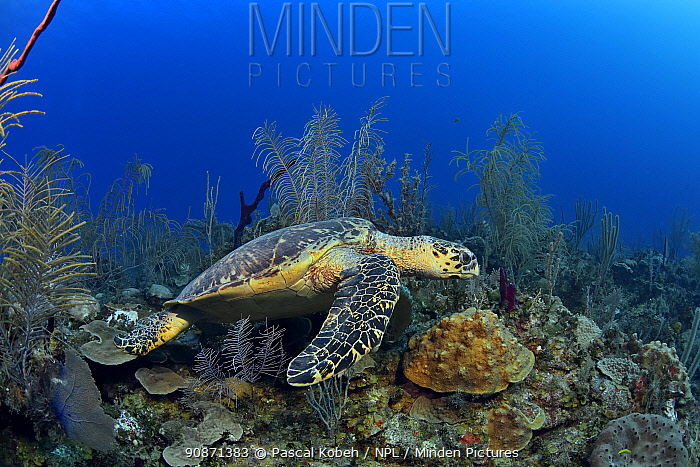 Green turtle (Chelonia mydas) on the reef, The Gardens of the Queen, Cuba, Caribbean Sea.