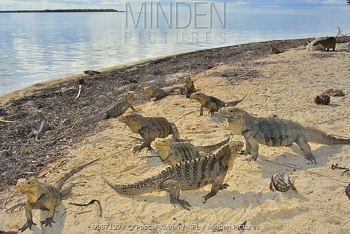 Cuban rock iguanas (Cyclura nubila) and Caribbean hermit crabs (Coenobita clypeatus) on the beach with a Desmarest's hutia (Capromys pilorides), a species of rodent, in the background, Gardens of the Queen National Park, Cuba.