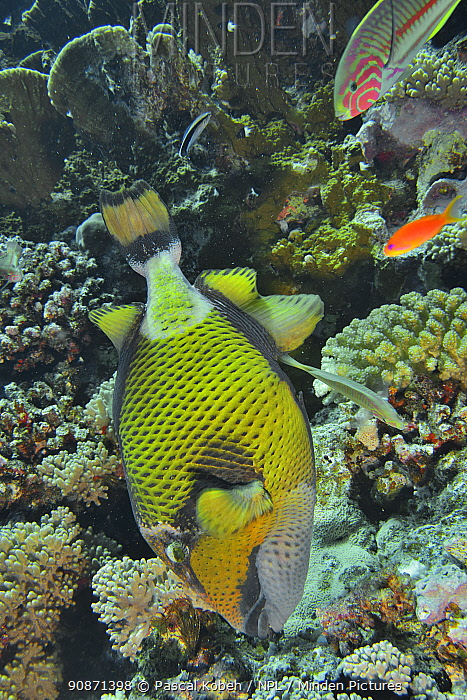 Giant triggerfish (Balistoides viridescens) building its nest among the corals in the reef with several other fish species nearby, Red Sea, Egypt.