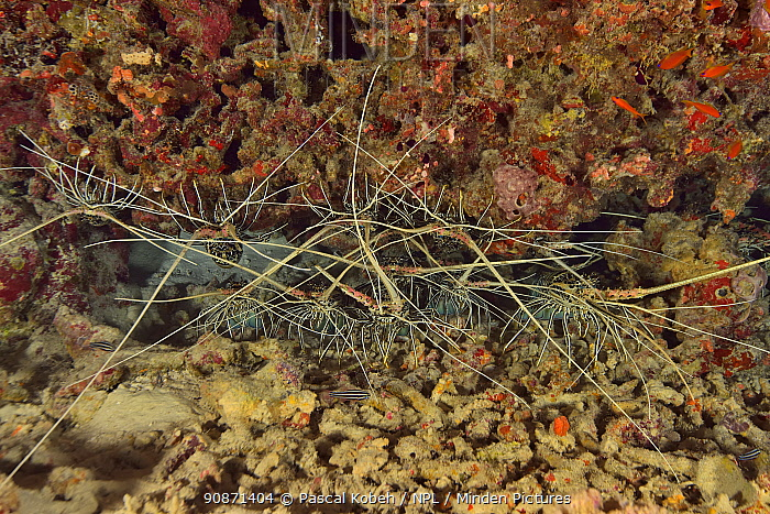 Painted spiny lobsters (Panulirus versicolor) in a crack in the reef, Indian Ocean, Maldives.