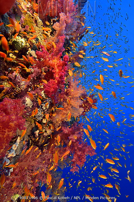 A coral reef drop off with soft corals (Dendronephthya sp.) and Jewel fairy basslets (Pseudanthias squamipinnis), Red Sea, Egypt.