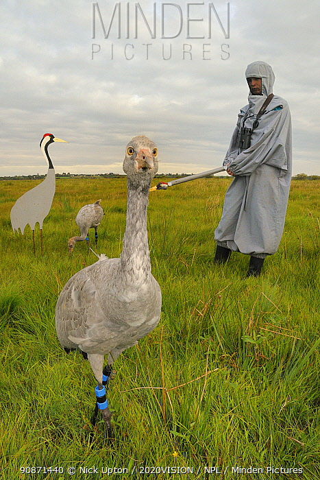 Two recently released young Common / Eurasian cranes (Grus grus), one standing and one feeding on grain scattered near an adult crane model, alongside a carer wearing a crane costume acting as a surrogate parent, Somerset Levels, England, UK, September 2012