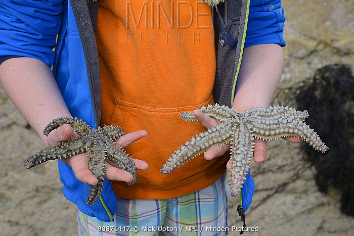 Two Spiny starfish (Marthasterias glacialis) found in a rockpool at low tide, held in a boy's hands, Cornwall, UK, April. Model released.