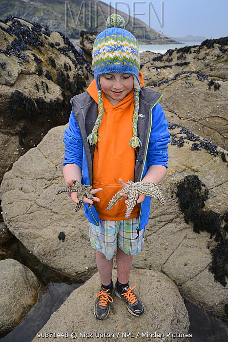Boy holding a Spiny starfish (Marthasterias glacialis) found in a rockpool at low tide, Cornwall, UK, April. Model released.