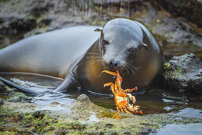 Galapagos sea lion (Zalophus wollebaeki) inquisitive pup playing with Sally Lightfoot Crab (Grapsus grapsus). Plazas Island, Galapagos, Ecuador