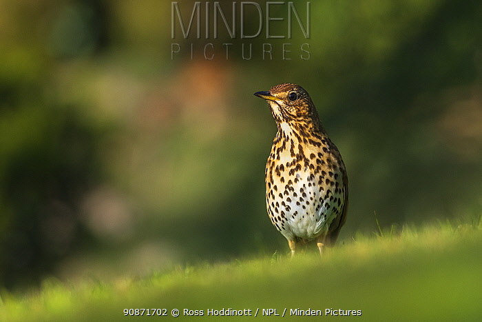 Song thrush (Turdus philomelos) looking for worms in a garden, Broxwater, Cornwall, UK. April .