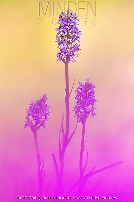 Common spotted orchids (Dactylorhiza fuchsii), Kingcombe Meadows, Dorset, UK, June .