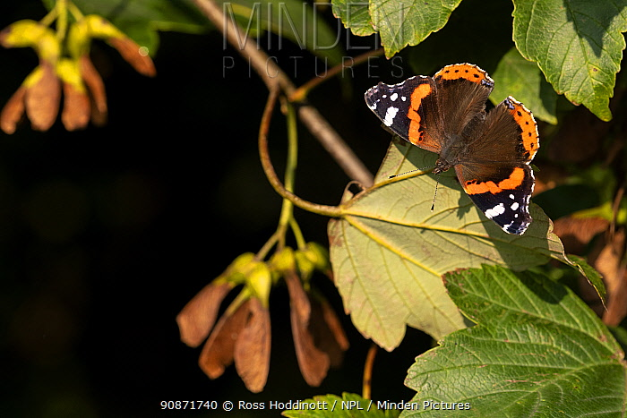 Red Admiral butterfly (Vanessa atalanta) basking on a Sycamore leaf (Acer pseudoplatanus) in morning light, Broxwater, Cornwall, UK. August .