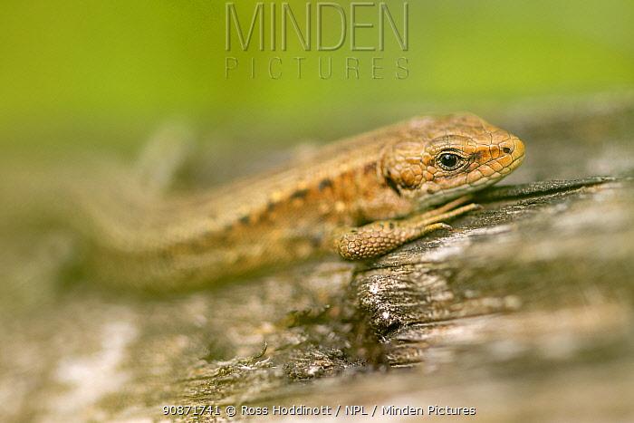 Common lizard (Lacerta vivipara) basking on log, close-up of head, Meeth Quarry, Devon, UK.