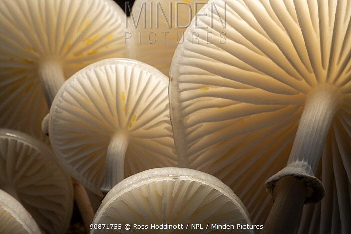 Close-up of backlit Porcelain fungus (Oudemansiella mucida)showing gills, Bolderwood, The New Forest, Hampshire, UK. October .