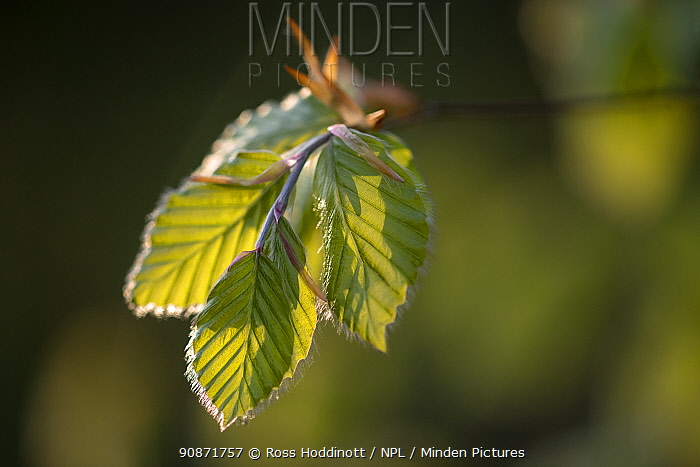 Newly emerged beech leaves (Fagus sylvatica), early morning light, West Wood, nr Marlborough, Wiltshire, UK. May .