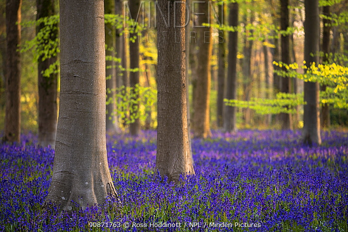 Beech trees (Fagus sylvatica) and English bluebells (Hyacinthoides non-scripta). Early morning light. West Wood, nr Marlborough, Wiltshire, UK. May 2021.