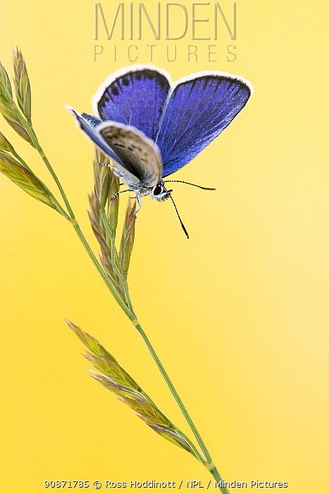 Silver-studded blue butterfly (Plebejus argus) male basking on a grass stem, Upton Towans, Cornwall, UK. June 2020.